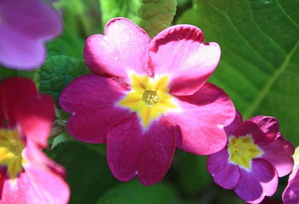 Primrose Floret Bloom Flower Red Bloodshot Bright