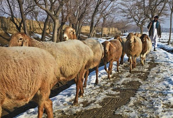 Afghanistan Marshal Sheep Ewe Shepherd Flock Herd