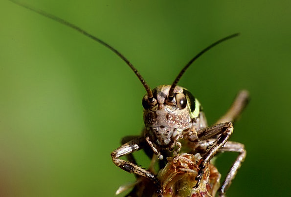 Grasshopper Bug Animal Physical Insect Nature Coun