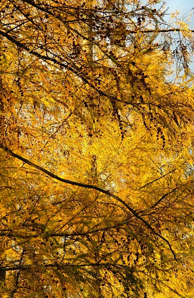 Fall Color Creamy Golden Excellent Yellow Larix Le