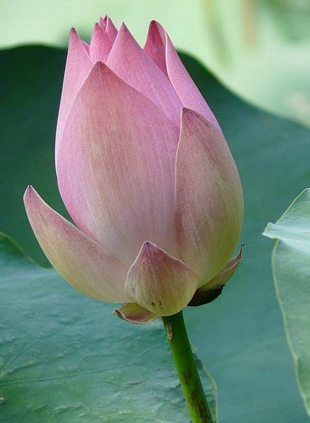 Lotus Flower Floret Lotus Blossom Pink Flushed