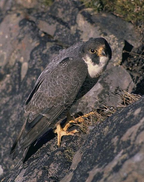 Peregrine Falcon Nest Shell Falcon Bird Fowl Wildl