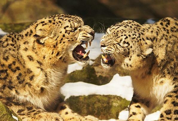 Snow Leopards Cat Feline Leopard Wildcat Predators
