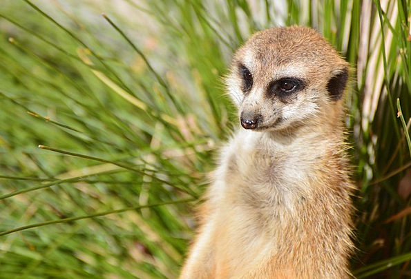 Meerkat Menagerie Canberra Zoo Wilderness Australi