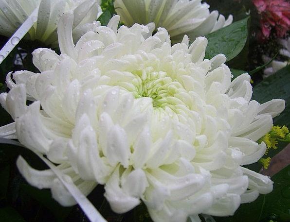 Chrysanthemum Landscapes Floret Nature White Snowy