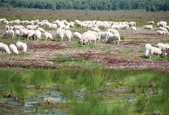 Sheep Ewe Landscapes Heath Nature Nature Countrysi