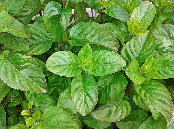 Basil Herb Landscapes Basils Nature Herb Garden He