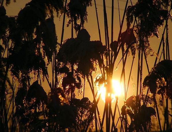 Grass Lawn Poales Phragmites Reed Cane Specie Sun