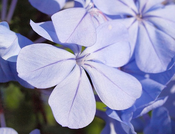 Auriculata Flower Floret Plumbago Blue Azure Garde