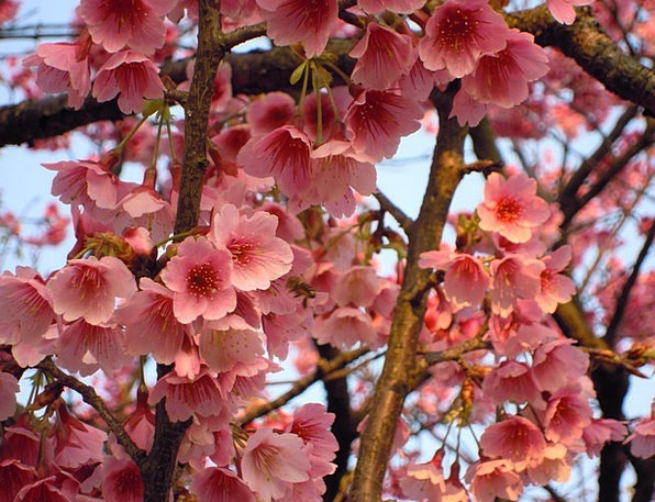 Sun Ming Shan Wikiproject Taiwan Cherry Blossoms S