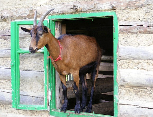 Goat Gap Animal Physical Window Wood Timber Cute F