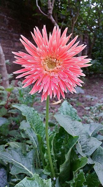Gerbera Floret Gardening Horticultural Flower Zerb