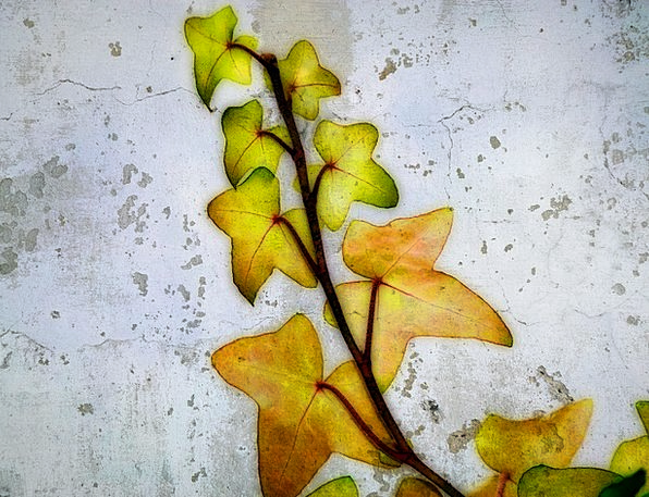 Ivy Landscapes Surfaced Nature Leaves Greeneries T