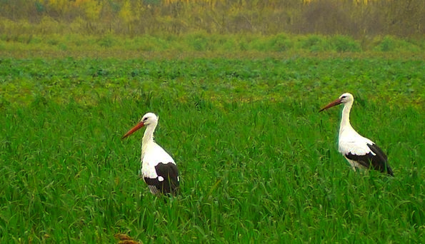 Storks Landscapes Nature Birds Natures Stork Close