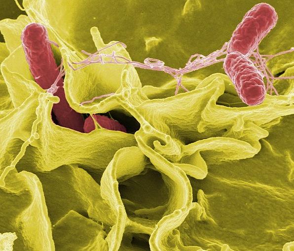Bacteria Microorganisms Pathogens Salmonella Esche
