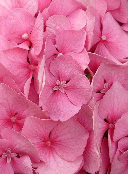 Hydrangea Ornamental Shrub Hydrangea Macrophyll Pi