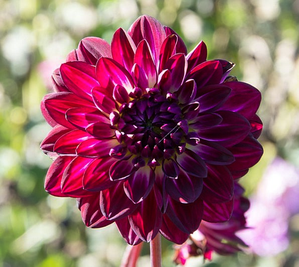 Dahlia Landscapes Nature Plant Vegetable Geotherma