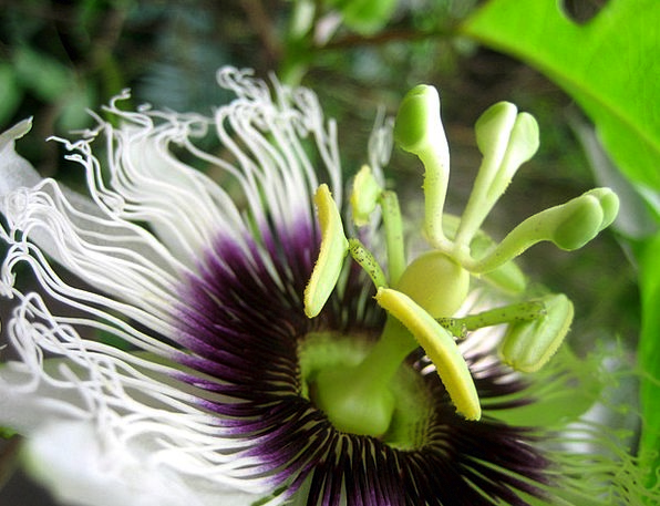 Passion Flower Landscapes Floret Nature Nature Cou