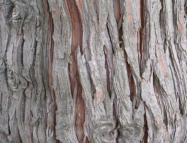 Cedar Textures Sapling Backgrounds Bark Bay Tree T