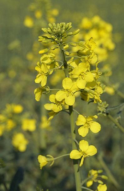 Oilseed Rape Landscapes Nature Close Near Rape Blo