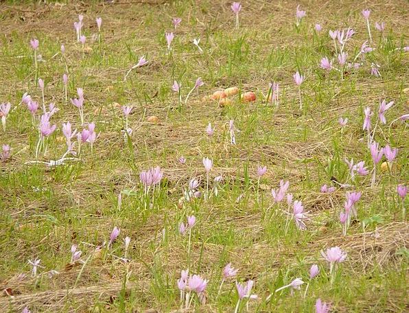 Flower Floret Elaborate Herbstzeitlose Purple Pale