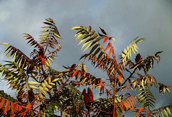 Sky Blue Greeneries Red Bloodshot Leaves Green Lim