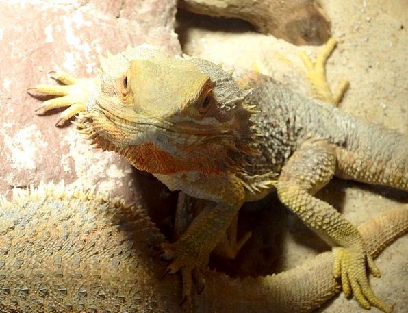 Yellow Creamy Reptile Lizard Animals Faunae Animal