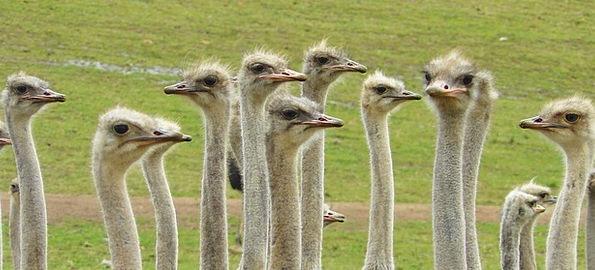 Ostriches Bouquet Bunch Strauss Animals Bird Fowl