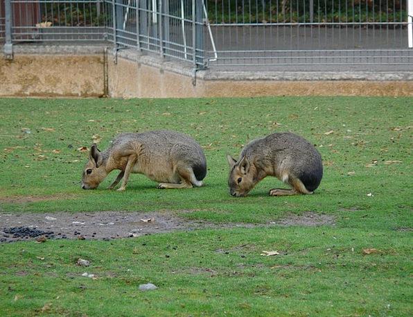 Large Mara Bunny Graze Scratch Rabbit Rodents Doli