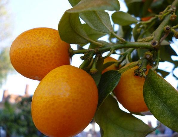 Orange Tree Landscapes Ovaries Nature Plant Vegeta