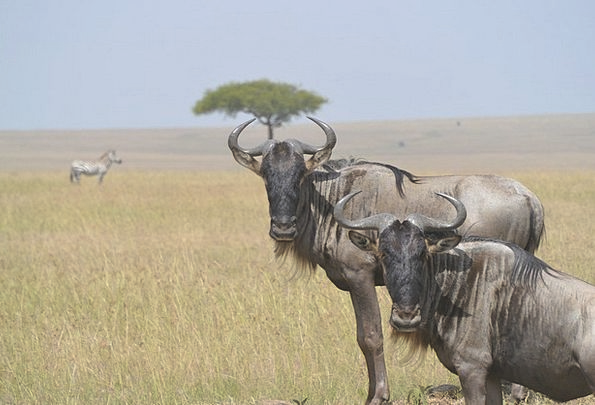 Wildebeests Physical Wild Rough Animal Herd Wildli