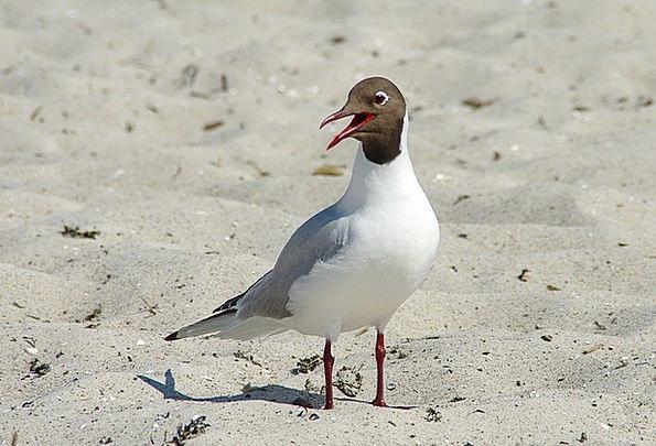 Black Headed Gull Vacation Travel Water Bird Larus
