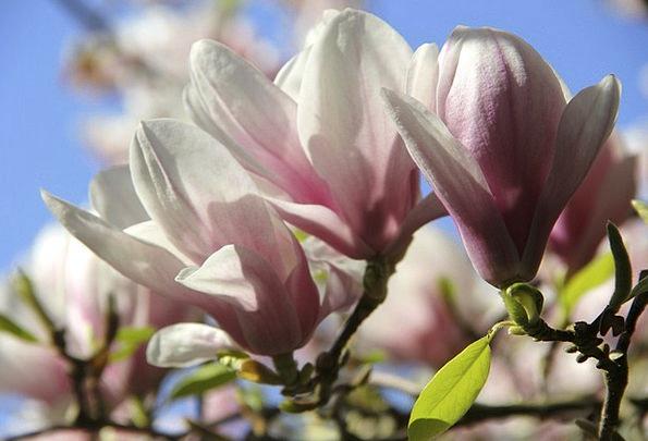 Magnolia Landscapes Nature Flowers Plants Tulip Ma