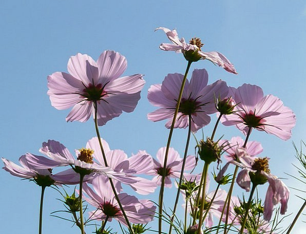 Cosmos Universe Flower Floret Cosmea Light Purple