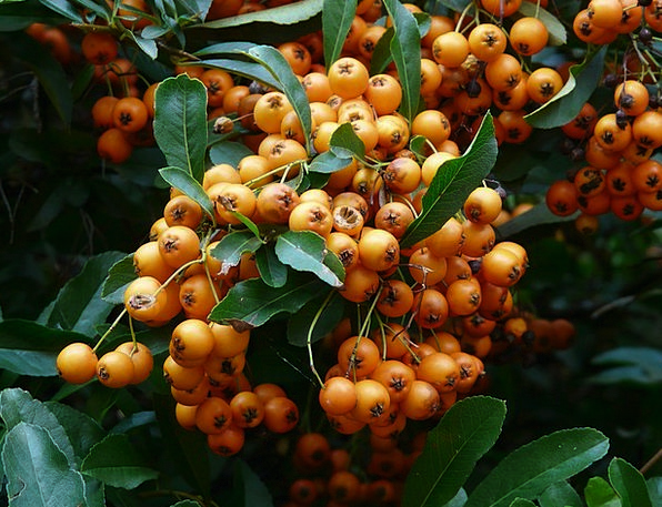 Firethorn Ovaries Berries Fruits Spiny Orange Carr