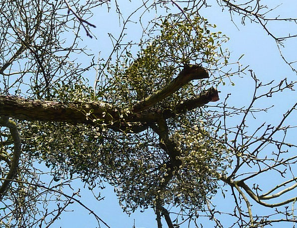 Mistletoe Landscapes Nature Green Lime Mistletoe B