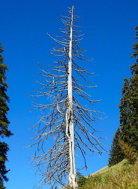 Fir Storm Damage Mountain World Dead Tree Dehydrat