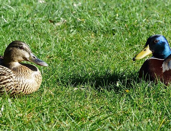 Mallard Pair Pair Couple Stock Duck Couple Swimmin