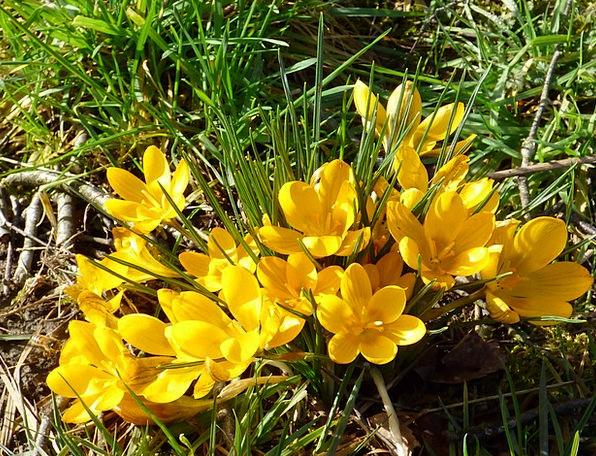 Crocuses Landscapes Plants Nature Yellow Creamy Fl
