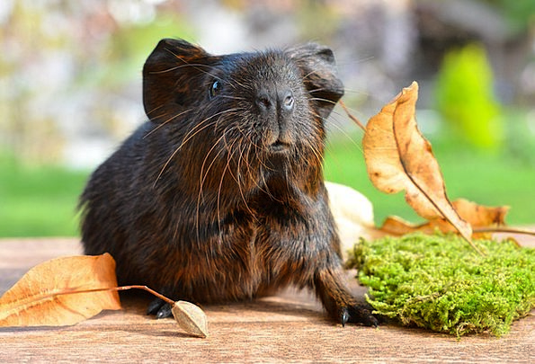 Guinea Pig Pet Domesticated Gold Agouti Nager Blac
