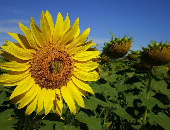 Flowers Plants Summer Straw-hat Sunflower