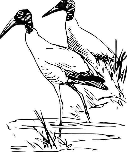 Ibis Fowl Wildlife Nature Bird Fauna Wading Free V