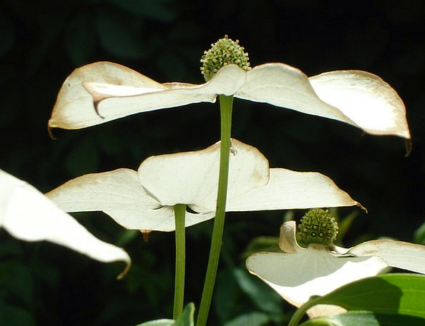 Asian Dogwood Blossoms Landscapes Nature Dogwood D