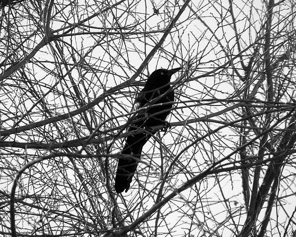 Bird Fowl Dark Tree Sapling Black Branch Division