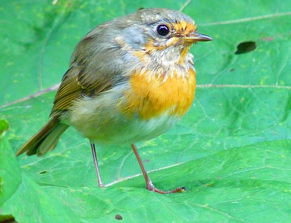 Bird Fowl Fly Hover Robin Pretty Young New Muscica
