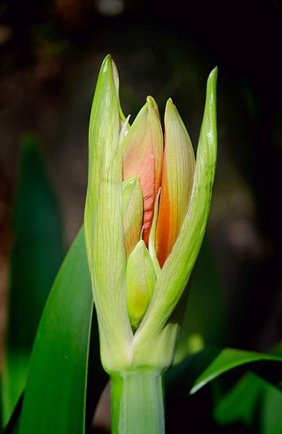 Flower Floret Sprout Amaryllis Bud Bloom Fresh Blo