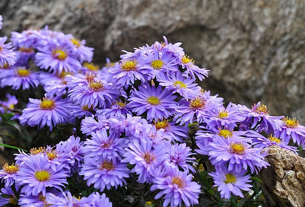 Herbstaster Landscapes Plants Nature Aster Flowers