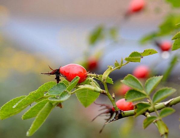 Rose Hip Macro Instruction Autumn Shrub