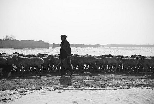 Shepherd Marshal Gentleman Sheep Ewe Man Flock Her