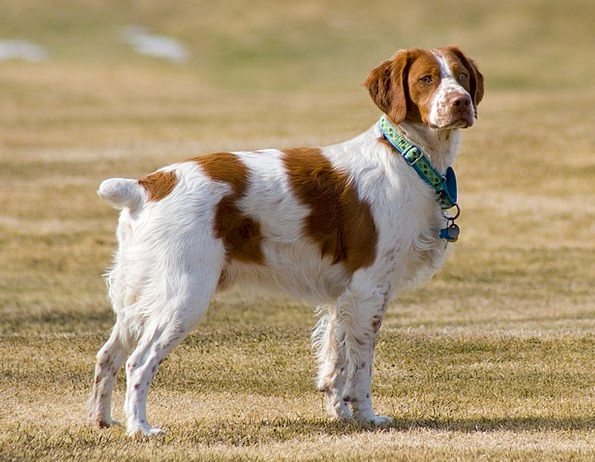 Brittany Spaniel Doglike Dog Canine Long Legs Dome